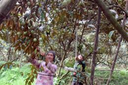 Bắc Giang phát triển thương hiệu vú sữa Tân Yên