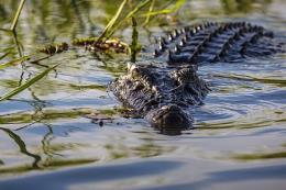 Chủ tịch UBND huyện Năm Căn nói về thông tin cá sấu lớn nổi đầu trên sông Tam Giang