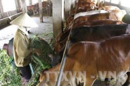 Trà Vinh: Nuôi bò thịt và vỗ béo có lãi hơn 50%