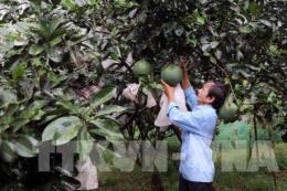 Khánh Hòa: Phát triển thương hiệu bưởi da xanh Khánh Vĩnh