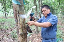 Lợi - hại phương pháp khoan cây rút mủ cao su bằng khí ethylen?