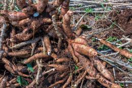 Thái Lan đạt thỏa thuận xuất khẩu sắn trị giá 590 triệu USD với Trung Quốc