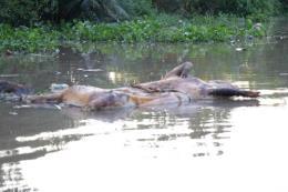 Vứt xác động vật bừa bãi trên kênh gây ô nhiễm nguồn nước