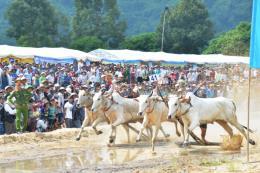 Tưng bừng Hội đua bò Bảy Núi An Giang