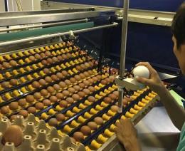 Từ năm 2020, Hòa Phát sẽ cung ứng trên 300 triệu trứng gà/năm