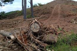 Ngang nhiên phá rừng thông 20 năm tuổi