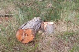 Trồng lại rừng thông tại khu vực bị phân lô bán nền trái phép ở Đà Lạt, Lâm Đồng