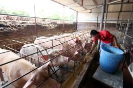 Hà Nội sẽ nhập khẩu thịt lợn nếu nguồn cung khan hiếm
