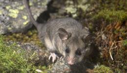 Loài chuột túi tí hon đứng trước nguy cơ tuyệt chủng ở Australia