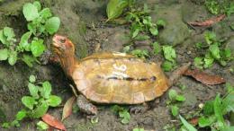 Hơn 60 con rùa được xếp hạng báu vật của Nhật Bản bị đánh cắp