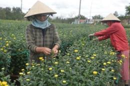 Nông dân Đà Lạt nhộn nhịp chuẩn bị hoa Tết