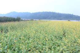 Cánh đồng hoa cải đẹp như tranh vẽ ở Thanh Hóa