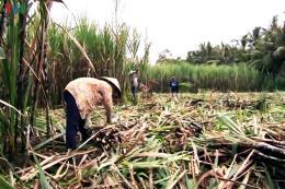 Nông dân trồng mía thêm một mùa vụ thất thu