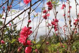 Hoa đào bung sắc trên Tây Nguyên