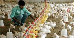 Ngành chăn nuôi gia cầm Ấn Độ thiệt hại nặng vì tin đồn