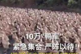 Đội quân 100.000 con vịt đón 'bão' châu chấu tại biên giới Trung Quốc