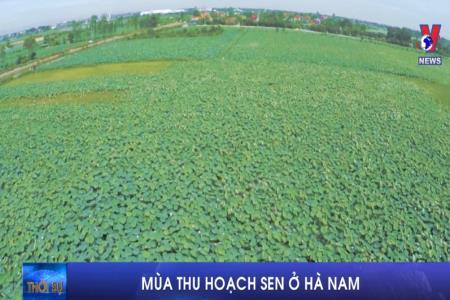 Mùa thu hoạch sen ở Hà Nam